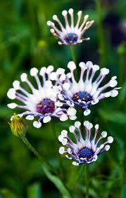 whirligig daisies osteospermum by agladschtein favorite