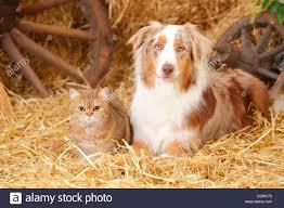 australian shepherd hair british shorthair cat female and australian shepherd male dog