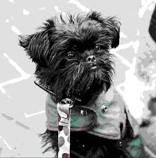 affenpinscher reviews dog resources recommendations for food vet care and rescue dogs