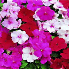impatiens flowers peppermint mix impatiens seed accent impatiens flower seeds