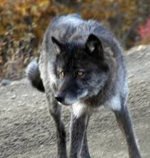 wolves images black wolf wallpaper and background photos 24308861