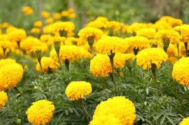 marigolds how to plant grow and care for marigold flowers the