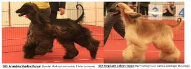 afghan hound breeders europe blog posts