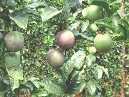 passion fruit infonet biovision home