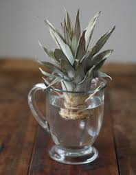 How To Grow A Bulb In A Vase 17 Apart How To Plant U0026 Grow A Pineapple Top