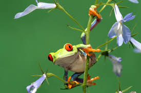 11 colorful facts about the red eyed tree frog mental floss
