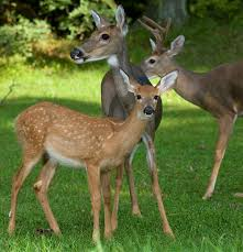 whitetail deer facts information and photos american expedition