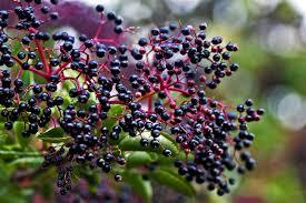 native edible plants wild edible texas more elderberries