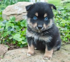 belgian shepherd single coat 7 things you need to know before buying a pomsky animalso