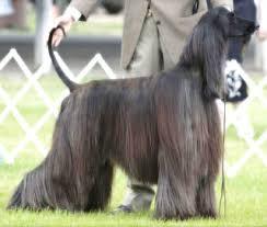 afghan hound judith light dog show 2009 07 05