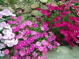 dianthus flower dianthus plants and flowers sherry s place