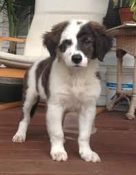 australian shepherd lab mix puppy saint bernard australian shepherd mix pets pinterest