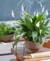 air freshening plant peace lily u0027sweet silvio u0027 plants from
