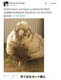 ugg boots sale canberra lost canberra sheep with a fleece so overgrown he can no longer