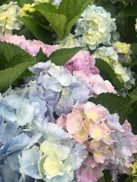 woody ornamentals archives surfing hydrangea nursery inc