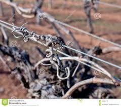 grape vine tendrils on trellis stock photo image 42851713