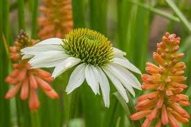 Echinacea Flower Coneflower Care Planting U0026 Growing Echinacea Flowers Garden Design