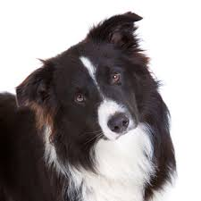 australian shepherd x border collie know the border collie temperament and don u0027t get out smarted