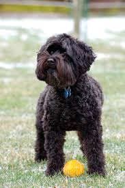 haircutsfordogs poodlemix schnoodle oodle poodle hybrid poodle mix doodle dog puppy