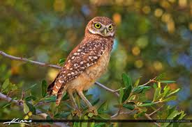 burrowing owl standing on tree branch royal stock photo