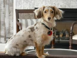 short haired dorkie mixes and she does match the decor layla the dapple dorkie poo dapple