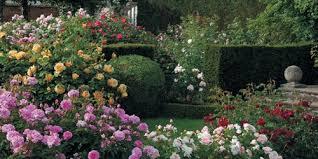 drift roses drift roses drift groundcover roses
