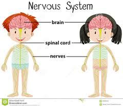 Nervous System Concept Map Young Boy The Nervous System Stock Illustration Image 38958995