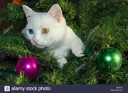 a single white cat with different coloured eyes sits in a
