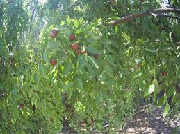 growing jujubes from seed and general jujube feedback trees