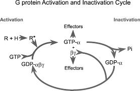 single transmembrane spanning heterotrimeric g protein coupled