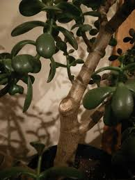 Jade Plant Didn t Sprout Two Branches at Pruning