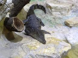 Tisch Family Zoological Gardens - nile crocodile a cub picture of tisch family zoological