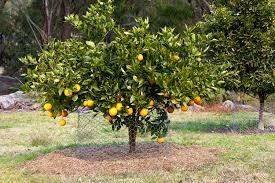 best backyard citrus care burke s backyard
