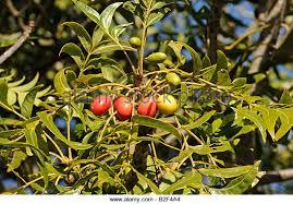 plum tree fruits stock photos plum tree fruits stock images alamy
