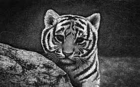 how to draw a tiger cub step by step forest animals animals