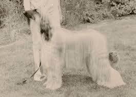 afghan hound in apartment bondor history the 80 u0027s