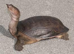Ringed Map Turtle Florida Softshell Turtle Apalone Ferox Soft Shelled Turtles Are