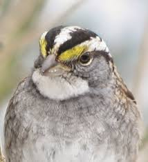 south burlington birds white throated sparrow photos south