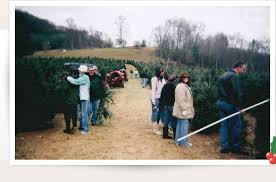 nc choose and cut christmas tree pictures