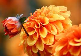autumn flowers autumn garden plants that flower in october