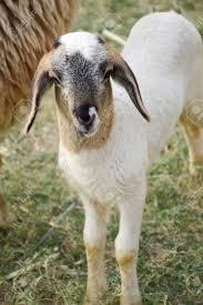 imagenes lindas naturaleza lindas ovejas en el jardín de la naturaleza fotos retratos