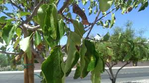 xtremehorticulture of the desert leaf scorch and thin canopy of