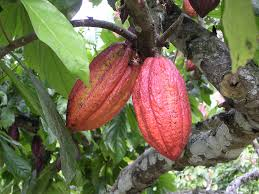 who is ismene in the bean trees tree theobroma health