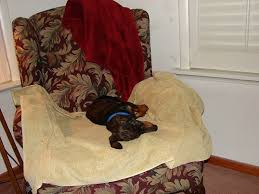 Sleeping In A Chair 62 Best Rescues Everywhere Images On Pinterest Dachshunds
