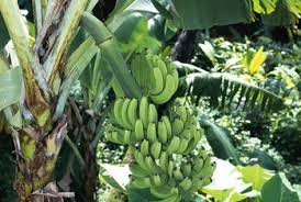 bananas on tree how to take care of a banana tree in a pot home guides sf gate