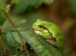 file european tree frog hyla arborea province limburg belgium