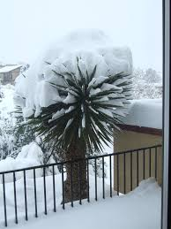 damage to yucca plants in cold weather yucca plant plants and