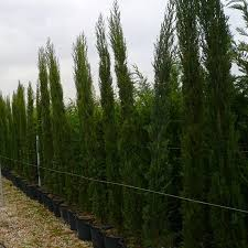 italian cypress trees for sale at trees direct