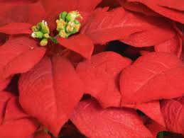 Flower Shops In Washington Dc - best florists in washington dc to get a holiday poinsettia cbs dc
