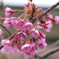 flowering cherry trees with attractive fall colors